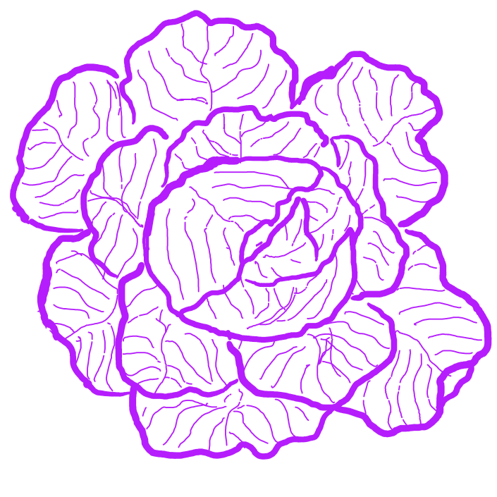 Hand-sketched monochrome cabbage in a magenta hue- Cabbages and Kings